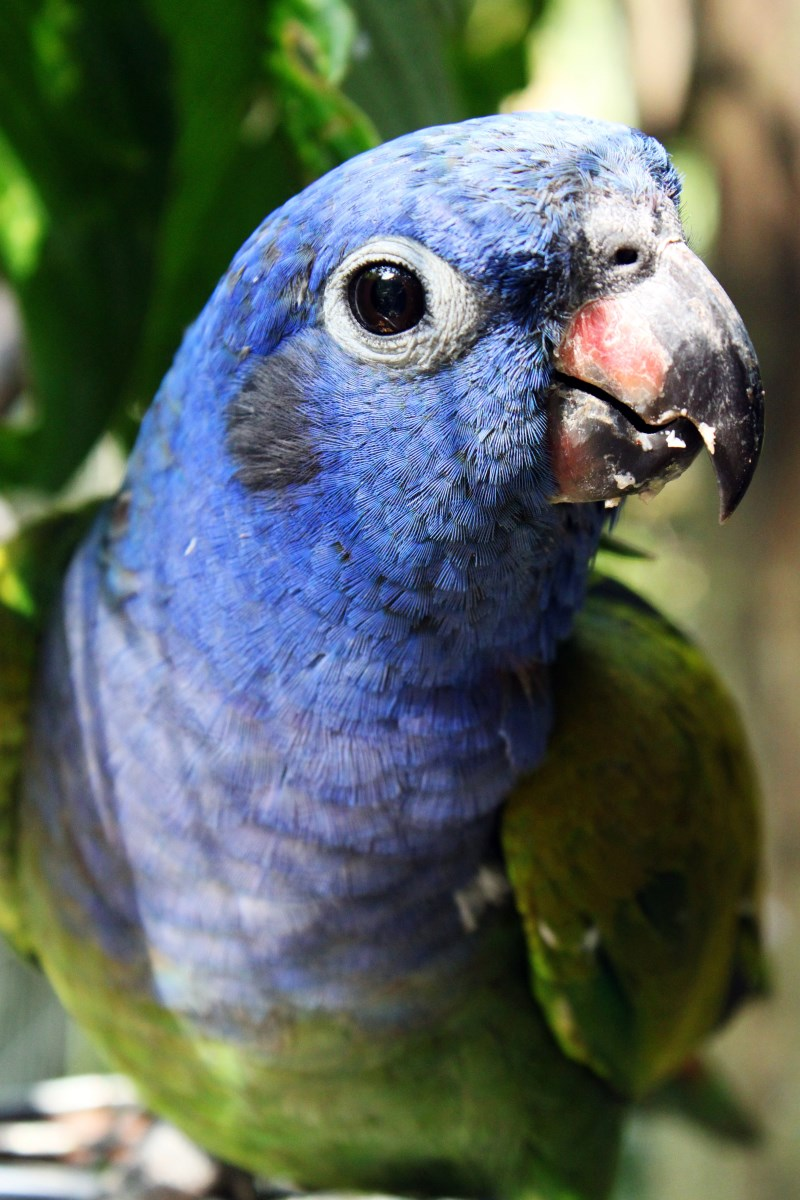 3 A bird Blue head parrot