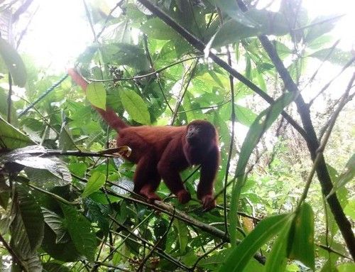 Red howler monkeys succesfully released